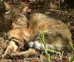 Cat domestication traced to Chinese farmers 5,300 years ago | Sustain Our Earth | Scoop.it