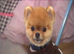 Jiff: Local Pomeranian dog becomes online sensation | WGN-TV | Cute Dogs | Scoop.it