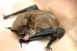 What Should I Do If I Discover My Attic Has Bats? - tips from Mills Termite & Pest Control | Mills Termite & Pest Control | Scoop.it