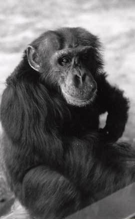 Loulis, the only non-human primate to learn a human language in the way that human children most typically do: from his mother (Washoe).   Kennis Sociolinguistics Magazine   Scoop.it