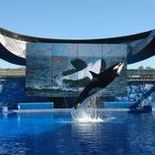 Faut-il libérer les orques en captivité ? | Protection animale | Scoop.it