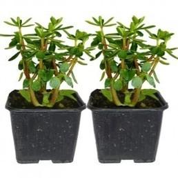 "Peperomia congona ""Poivre-Cannelle / Congona"" Plant - Alsagarden | Diversifications agricoles | Scoop.it"