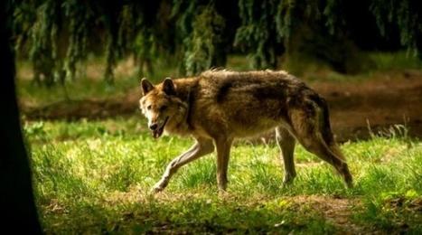 Des loups sont de retour aux portes de Varsovie et y restent | 694028 | Scoop.it