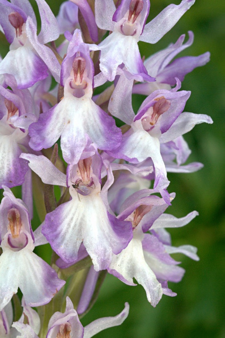 Variations autour de l'orchis de Fuchs | The Blog's Revue by OlivierSC | Scoop.it
