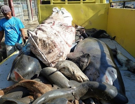 Blog: Update on Dolphins in #Indonesia ~ Ric O'Barry's #DolphinProject #graphic! | Rescue our Ocean's & it's species from Man's Pollution! | Scoop.it