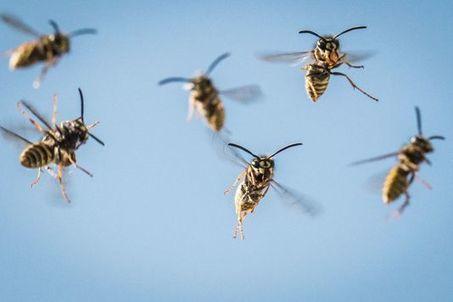 Cet été, des guêpes plus nombreuses et plus agressives | EntomoNews | Scoop.it