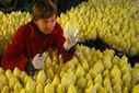 Les producteurs d'endives à l'amende pour entente sur les prix - LeMonde.fr   C News of France   Scoop.it