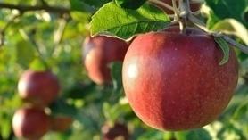 Pomme : valeur nutritive, bienfaits santé et conservation | RESTOPARTNER : des restaurants  de qualités à Paris - France | Scoop.it
