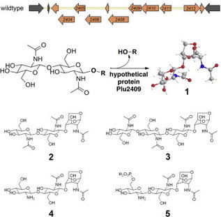 An Atypical Orphan Carbohydrate-NRPS Genomic Island Encodes a Novel Lytic Transglycosylase | Glycoinformatics | Scoop.it