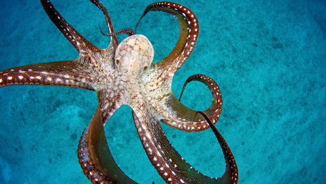 Octopuses can bring the moves but not the rhythm | Biomimétisme, Biomimicry, Bioinspired innovation | Scoop.it
