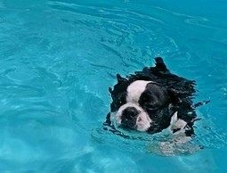 Anyone have any Tips to Get a Boston use to Water and Swimming? | Boston Terrier Dogs | Scoop.it