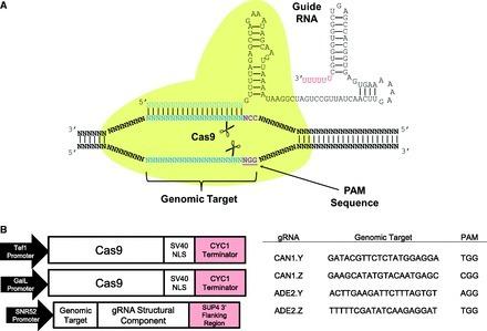 Genome engineering in Saccharomyces cerevisiae using CRISPR-Cas systems | CRISPR | Scoop.it