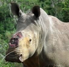 Surviving Rhino Thandi Progress Report - Good News! | What's Happening to Africa's Rhino? | Scoop.it