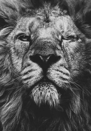 Lion HD Wallpapers | Exclusive Wallpapers - HD Wallpapers | HD Wallpapers | Scoop.it