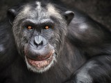 Apes Have Midlife Crises, Too—And It May Help Them | Monkeys and Apes | Scoop.it