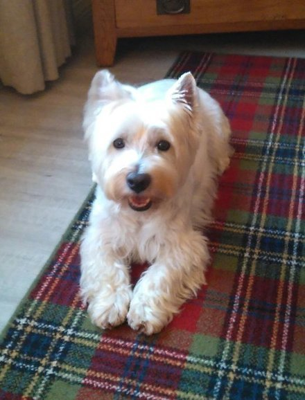 Tweet from @DAndScotl | West Highland White Terrier | Scoop.it