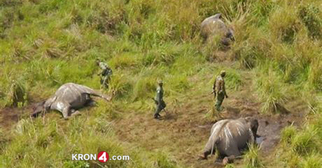 Poachers Kill 100K Elephants In Africa - KRON 4 | Yoga, Meditation and Spirituality | Scoop.it