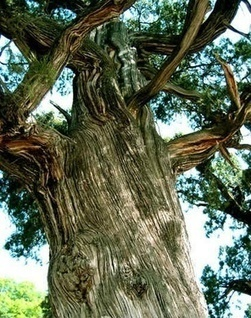 The oldest tree in the world | amazing travel culture | Scoop.it