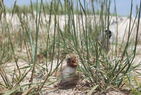 Monomoy #Wildlife Refuge plan seeks 'balanced'approach ~ #migratoryBirds #Terns | Now is the Time to Help our Oceans & it's Species ! | Scoop.it