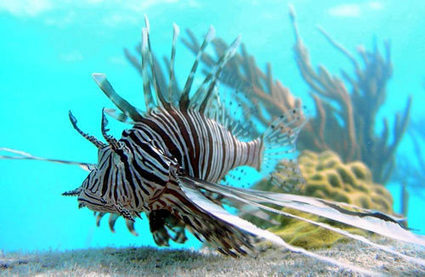 Jamaica reports big drop in lionfish sightings - Caribbean Life | Coral Reef Ecology | Scoop.it