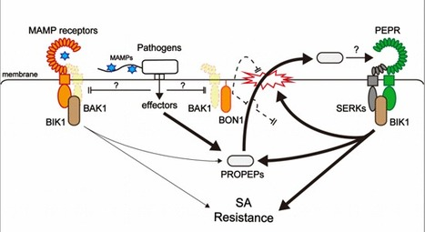 Danger peptide receptor signaling in plants ensures basal immunity upon pathogen‐induced depletion of BAK1 | Plant-microbe interaction | Scoop.it