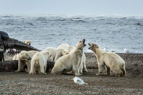 Study: Polar bears could feel sting of climate change by 2025 | Climate change challenges | Scoop.it
