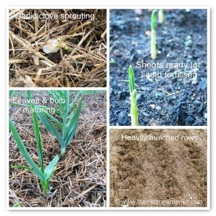 5 Step Guide to Growing Gorgeous Garlic - | raed albustany | Scoop.it