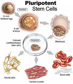 Researchers Use Induced Pluripotent Stem Cells to Reverse Parkinson's in Rats | Stem Cells & Tissue Engineering | Scoop.it