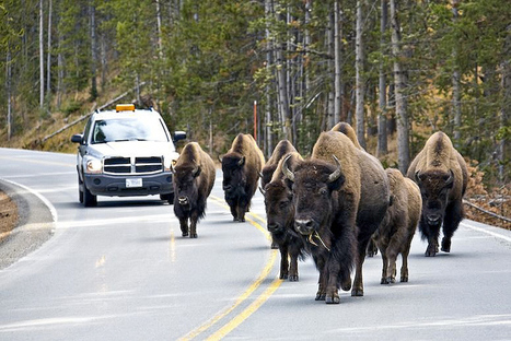HUNTING + POACHING: Does the government have a right to slaughter these buffalo? | > Animal Welfare | Scoop.it
