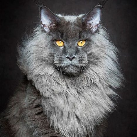 Mythical Beasts – Un photographe capture de superbes portraits de Maine Coon | Curiosités planétaires | Scoop.it