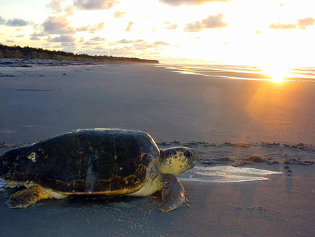 #SpeakUp for Sea #Turtle Nesting Beaches. Please sign petition...thxu | Rescue our Ocean's & it's species from Man's Pollution! | Scoop.it
