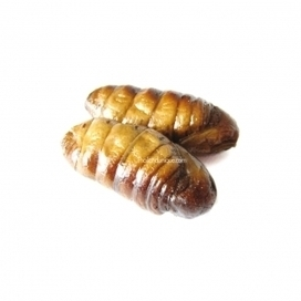 Edible Silkworm Pupae - Bombyx Mori | edible insects for future and silkworms | Scoop.it
