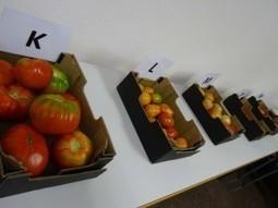 El campus de Elche acoge una cata de tomates de distintas variedades mejoradas en la EPSO | Mejora genetica | Scoop.it