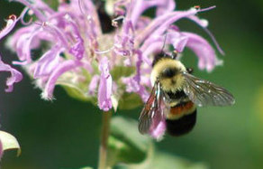 Rusty-patched Bumble Bee - Ontario Government, Ministry of Natural Resources | Bees and Beekeeping | Scoop.it