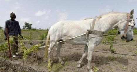 Le premier vin produit au Sénégal prend corps à l'ombre de baobabs - | Verres de Contact | Scoop.it
