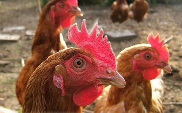 10 Fascinating Facts About Chickens   Background Story is History   Scoop.it