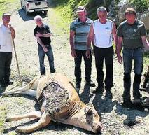 L'ours dans le Louron : des animaux retrouvés morts | Vallée d'Aure - Pyrénées | Scoop.it