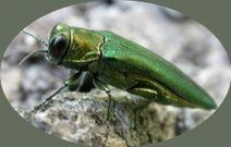 Invasive Species-Emerald Ash Borer | Plant Pests - Global Travellers | Scoop.it