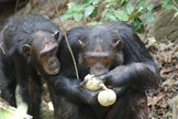 Chimp and Human Gut Bacteria Nearly Identical | Microbial World | Scoop.it