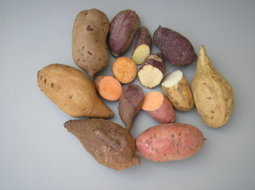 Sweet potato naturally 'genetically modified' | Plant Genetics, NGS and Bioinformatics | Scoop.it