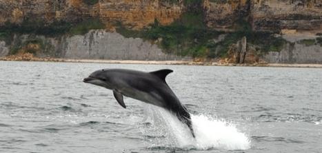 Une vingtaine de grands dauphins gris devant Arromanches | La Manche Libre bayeux | Actu Basse-Normandie (La Manche Libre) | Scoop.it