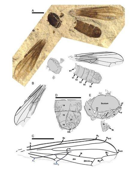 Des fossiles de mouches pour mieux comprendre la grande révolution écologique | EntomoNews | Scoop.it