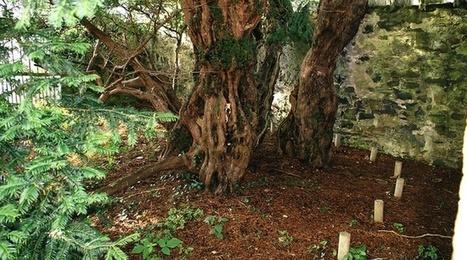 Le plus vieil arbre du Royaume-Uni est en train de changer de sexe | Biodiversité & Relations Homme - Nature - Environnement : Un Scoop.it du Muséum de Toulouse | Scoop.it