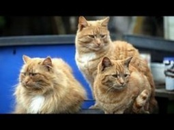 Cat Watch 2014 Episode 2 - The Lion on Your Lap | Catnip Daily | Scoop.it