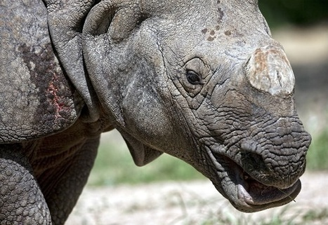Faux Rhino Horn a bad idea, say conservation groups | What's Happening to Africa's Rhino? | Scoop.it
