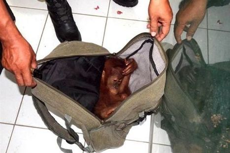 Baby Orangutan Saved From Wildlife Black Market | Nature Animals humankind | Scoop.it