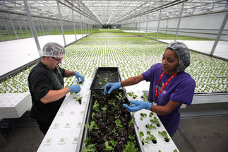 Green City Growers Cooperative blooms into the hydroponic lettuce business ... - Plain Dealer | Vertical Farm - Food Factory | Scoop.it