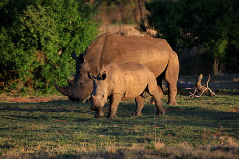 9 common myths from pro-rhino horn trade advocates - Africa Geographic Blog | Rhino | Scoop.it