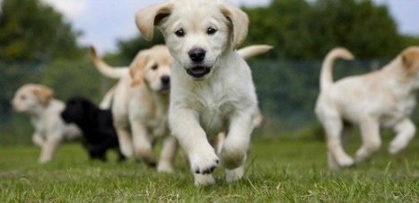 Dog thefts on the increase as organised gangs target popular breeds | Breeds and Such | Scoop.it