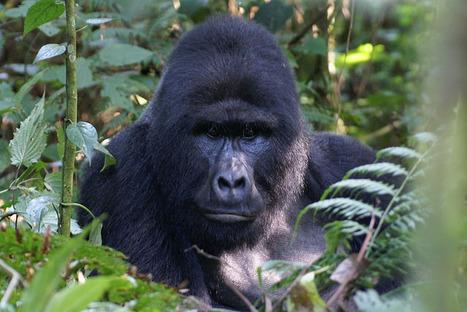 Uganda's oldest gorilla dies at 50 - Uganda Safaris's blog   Gorilla Trekking   Scoop.it